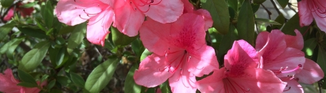 azalea-1782959_1920